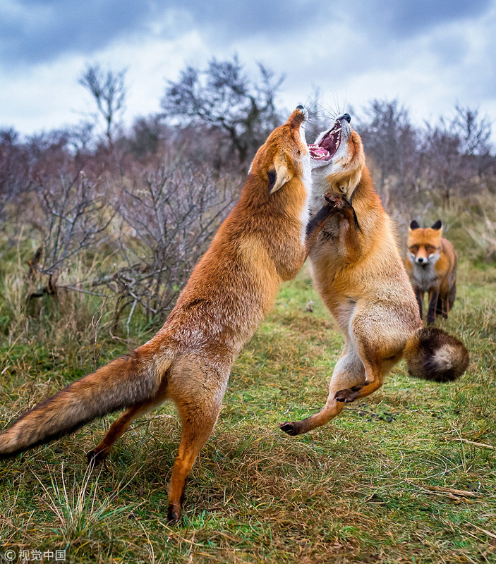 据悉,他花了几个月的时间与狐狸们亲密接触,才真正捕捉到它们的放松