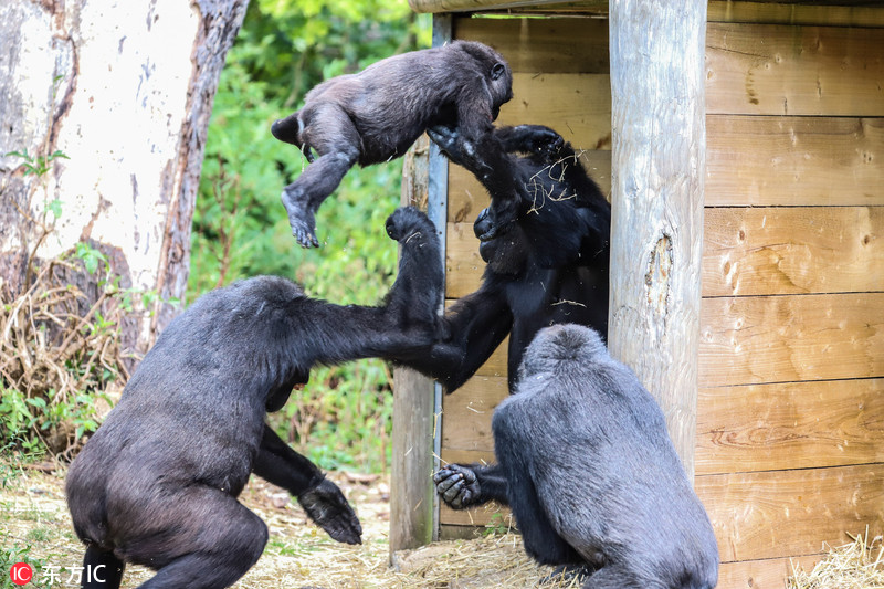 因为太顽皮,英国动物园小猩猩被一拳打飞了!