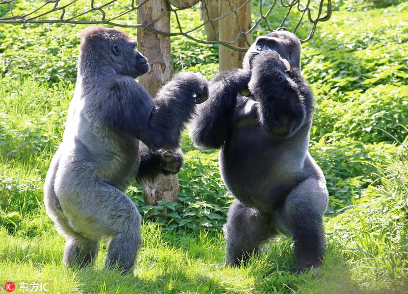 英国动物园大猩猩争夺食物上演拳击赛