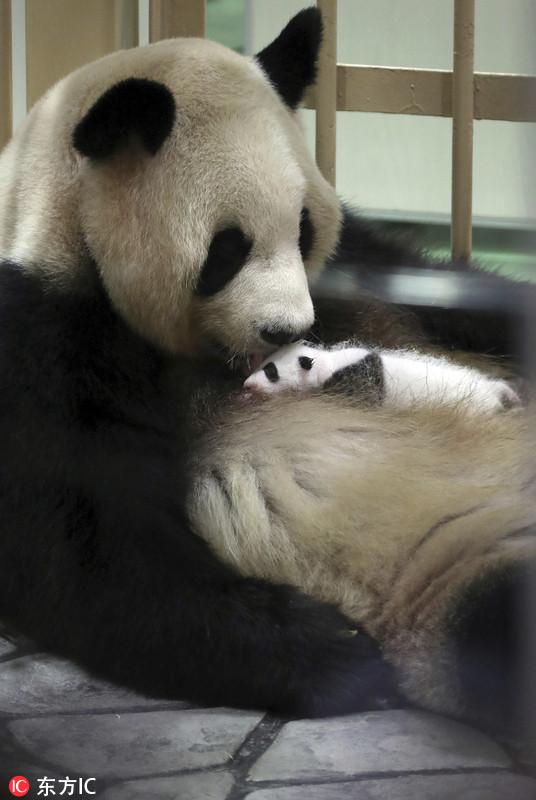 旅日大熊猫新生幼崽亮相 小滚滚活力又健康