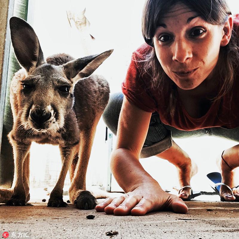 2017年9月29日报道,30岁的劳拉(Laura Exposito)与各类动物拍摄了一组自拍照,照片中劳拉模仿动物们的表情和动作,看着十分的滑稽搞笑,让人不禁想到能和动物交流的怪医杜立德。劳拉在环球旅行过程中拍摄了这组照片,与她合照自拍的包括袋鼠、美洲驼、猫头鹰、猪等各类动物。为了获取最完美的一张照片,劳拉可没少花功夫。有时候她要花费一个小时的时间去拍到动物摆出最佳pose的一张照片。劳拉说动物们很像小孩子,你需要有耐心。羊驼是最大的麻烦鬼,劳拉差点被它吐上口水。 声明:东方IC供本网专稿,任何网站、报