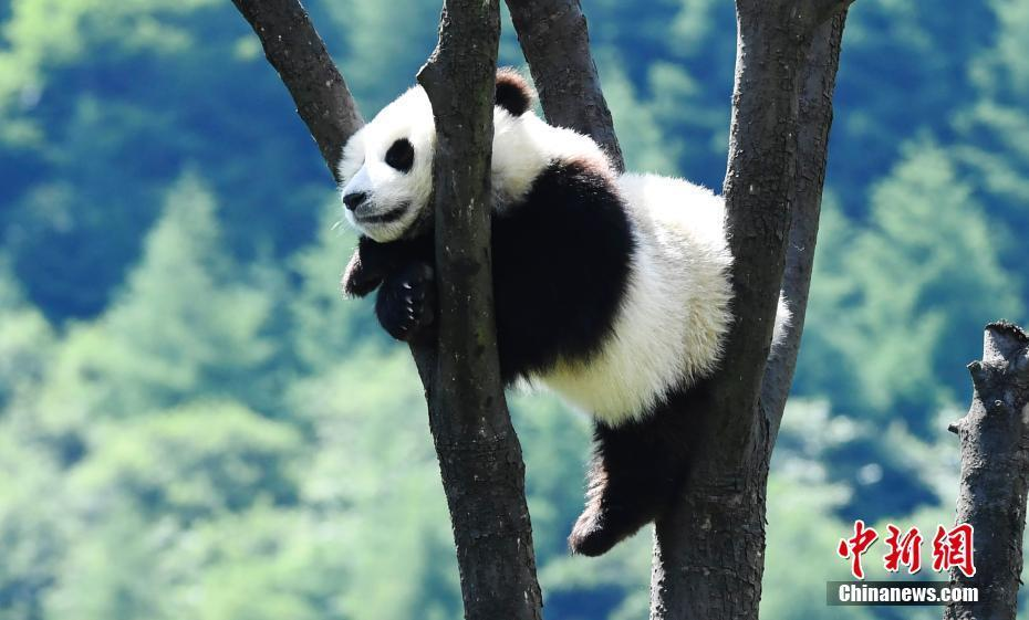 6月10日,中国大熊猫保护研究中心的2017年出生的大熊猫宝宝在熊猫幼儿园里享受夏日的阳光,或坐或躺,悠闲自得。 安源 摄