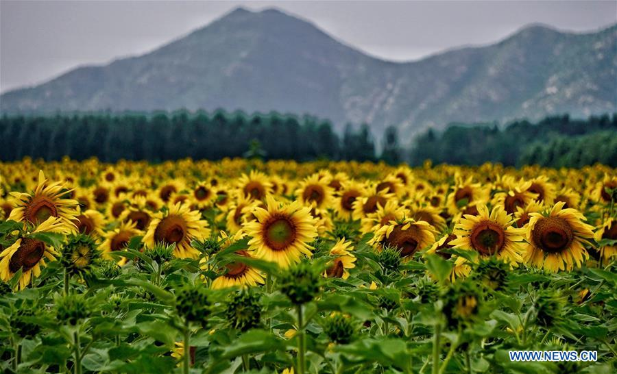 Beautiful sunflowers in Yanqing, Beijing