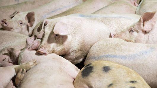 美国猪农:我不想做死于贸易战的爱国者