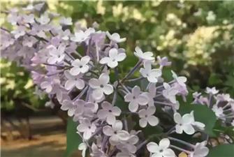 Enjoy Lilacs in Beijing's Tiantan Park