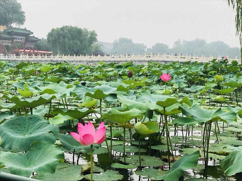 Les beaux lieux pour admirer les lotus