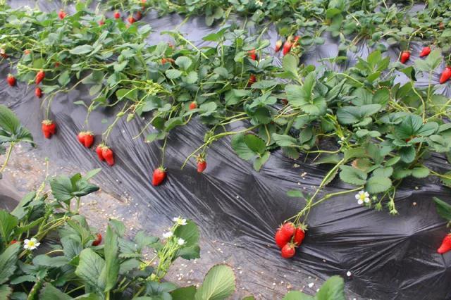 海淀三元农业草莓采摘活动