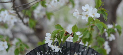 玉渊潭公園で早咲きの桜を楽しみましょう
